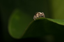 Macro Of Tiny Jumping Spider On Curved Green Leaf