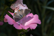 Open-Winged Gray Hairstreak Butterfly On Pink Bloom Close-up