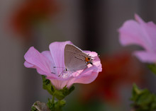 Gray Hairstreak Butterfly On Pink Bloom Close-up