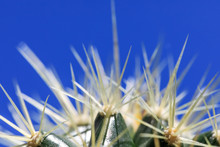 White And Long Thorns Of Cactu...