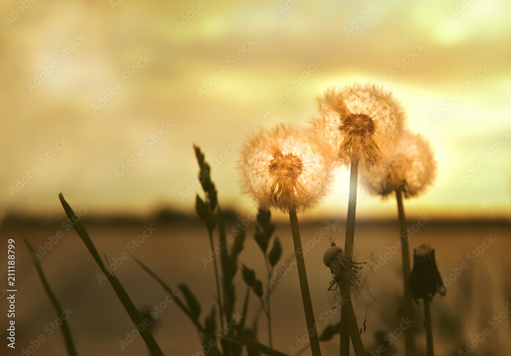 Fototapety, obrazy: Group of dandelions by the river against the sunset background