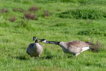 Two Canadian Geese Having A Lo...