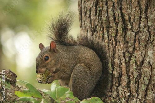Keuken foto achterwand Eekhoorn Grey Squirrel Eating