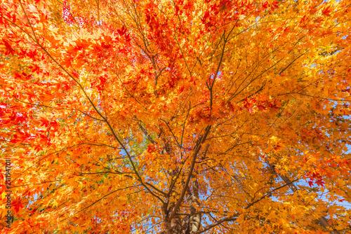Foto op Canvas Herfst Japan Maple leaf in Autumn Season