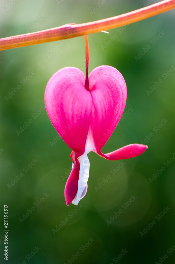 Poster Foto Pretty Pink Bleeding Heart Flowers String Out On A