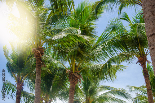 Poster Palm boom Coconut palm tree