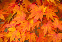 Orange Leaves Of A Japanese Ma...