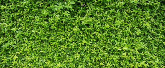 FototapetaGreen leaves natural background wallpaper, leaf texture, green leaves wall background