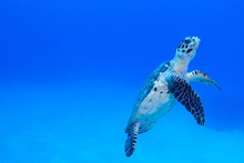 A Hawksbil Turtle Slowly Cruises Through The Beautiful Warm Water Of The Caribbean Sea. The Peaceful Creature Feeds On Coral In The Nearby Reef