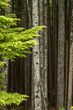 background texture of many straight tree trunks with a piece of foliage cover on the side