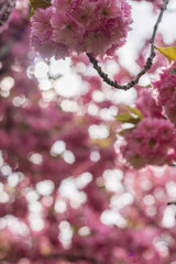 pretty spring blossoms on a tree