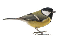 Great Tit (Parus Major), Isolated On White Background