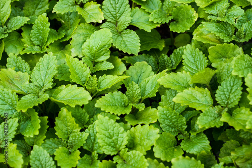 Peppermint leaves in the garden. Green background. Close up Poster