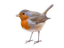 Robin Or Redbreast (Erithacus ...
