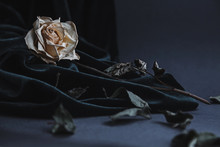 Dried White Rose On Gray Backg...