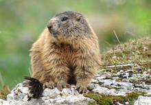 Alpine Marmot (Marmota Marmota), Portrait On The Rocks