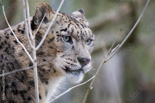 Naklejka premium Adult snow leopard