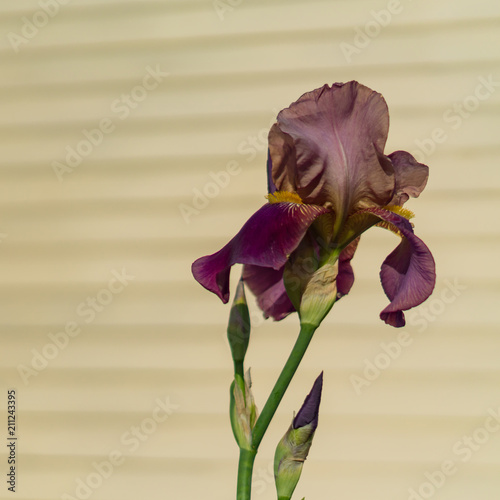Foto op Aluminium Iris Beautiful blooming burgundy iris flower on beige wall background