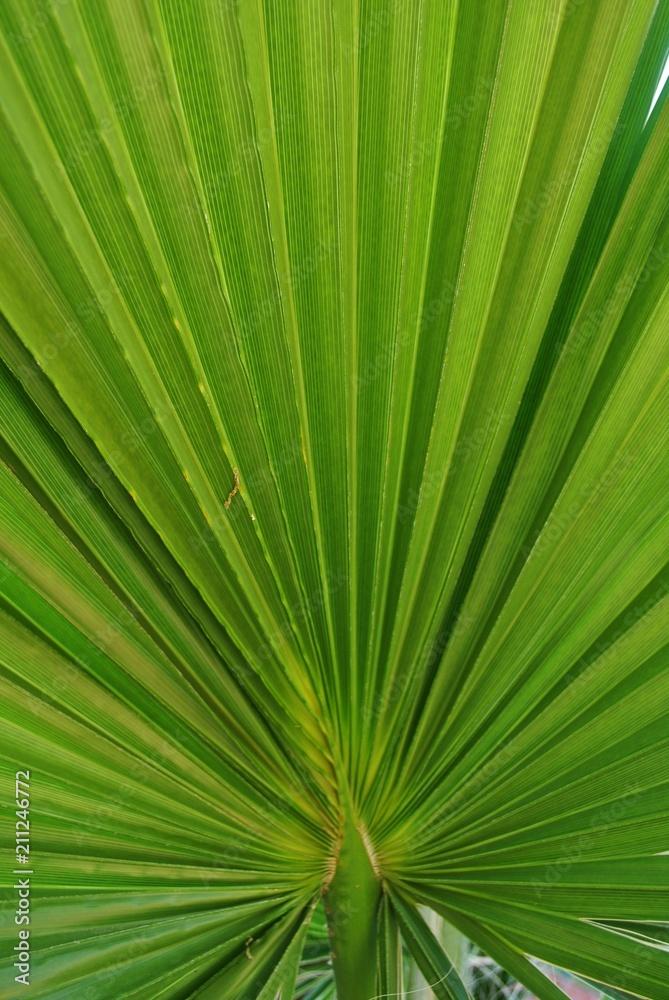 Fototapeta Liść palmy