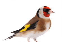 Portrait Goldfinch