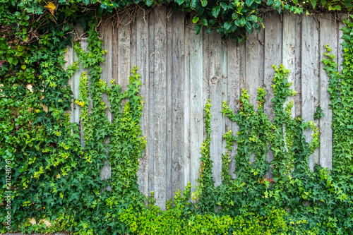 Fotografia Green ivy leaves climbing on old grungy garden fence