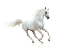 Snow White Arabian Stallion Is...