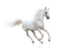 Snow White Arabian Stallion Is...