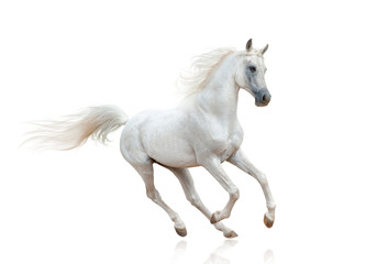 Snow white arabian stallion isolated