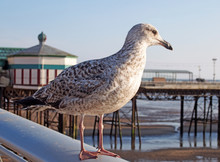 Close Up Of A Juvenile Herring Gull Stood On A Railing With Blackpool North Pier In The Background Reflected In Water On The Beach On A Summer Day With Blue Sky