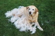 canvas print picture - Labrador-Furminator