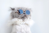 Fototapeta Animals - funny cat portrait in sunglasses