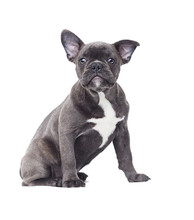 Small Puppy Of A French Bulldog On A White Background