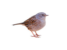 Dunnock (Prunella Modularis), Isolated On White Background, Cut Out