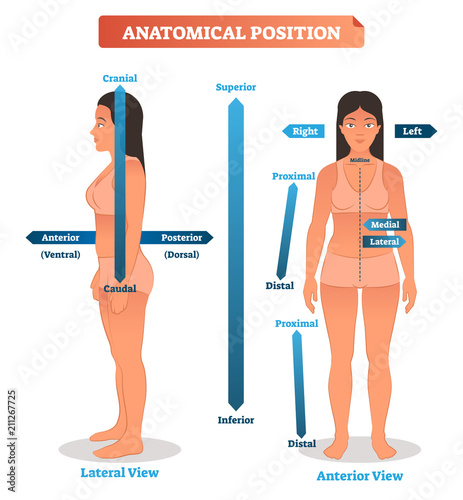 Valokuva Anatomical positions vector illustration