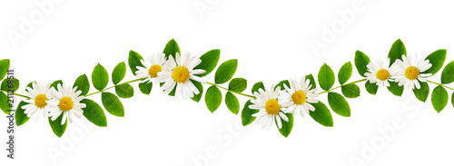 Fresh green leaves of Siberian peashrub and daisy flowers in seamless waved pattern