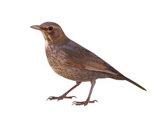 Eurasian Blackbird (Turdus Merula), Female, Cut Out, Isolated, White Background