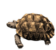 Large Land Turtle With Beautif...