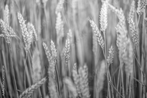 Photo  champs de blé en noir et blanc en été en gros plan.nef