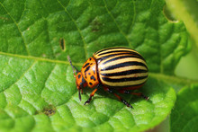 Adult Colorado Beetles On A Leaf Of Potatoes