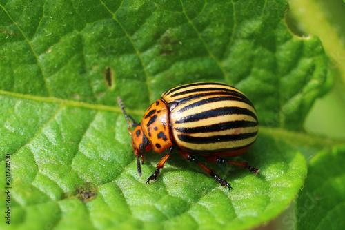 Carta da parati Adult colorado beetles on a leaf of potatoes