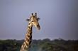Portrait, South African giraffe, Giraffa giraffa giraffa, Etosha National Park, Namibia