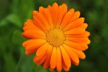 Calendula Officinalis Or Pot Marigold Close-up