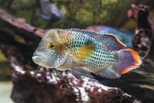 Akara Turquoise (Аndinоасаra Rivulаtus) Is A Cichlid In The Aquarium