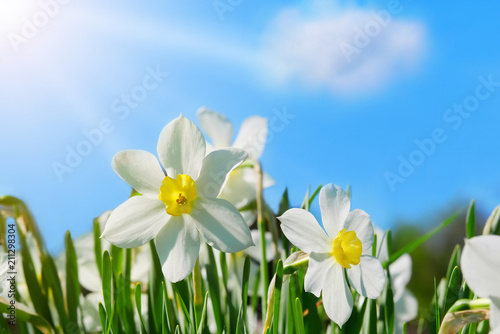 Papiers peints Narcisse closeup of narcissus flowers on flowerbed against blue sky background with copy space