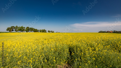 Deurstickers Platteland Amazing yellow field of rape in sunny day