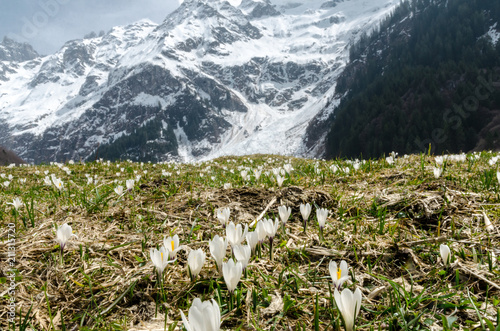 Spoed Foto op Canvas Natuur A zoom of alpine white spring flowers with snowy mountain peaks in the background