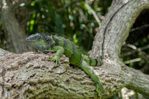 Photo  Green Iguana Lounging on Sunny Day