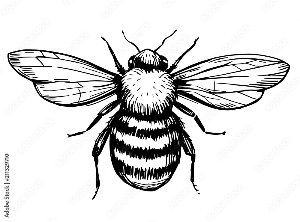Fotografie, Obraz Bee sketch. Hand drawn illustration converted to vector