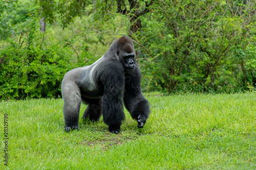 Western Lowland Gorilla in Green Grass on Sunny Day Canvas Print