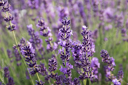 Common Lavender (Lavandula angustifolia)